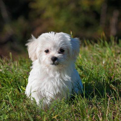animal-dog-maltese-33053
